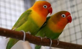 Самець або самочка - розрізняємо нерозлучники