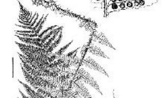 Щитовник сіхотінскій