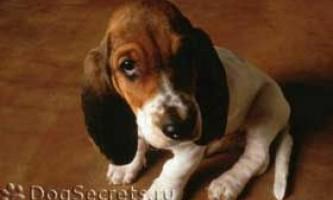 Симптоми і лікування простатиту у собак