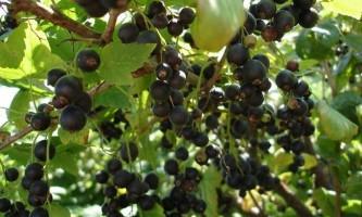 Сорт смородини чорної: шадріха