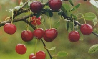 Сорт вишні степової: полівка