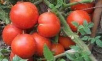 Сорти томатів для сибіру
