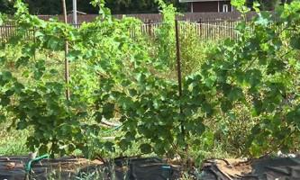 Сорти винограду ранніх термінів зрілості