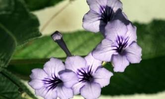 Стрептокарпуси: умови утримання і догляд