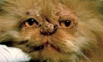 Стригучий лишай. Як виглядає лишай у кішок?