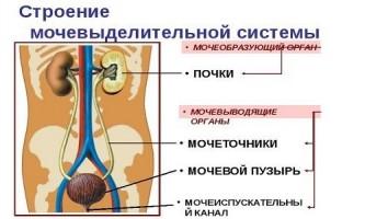 Будова і хвороби сечової системи