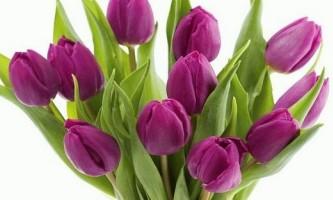 Тюльпани в домашніх умовах