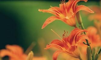 Смілка: опис, розмноження, догляд, посадка, застосування в саду, фото, сорти і види
