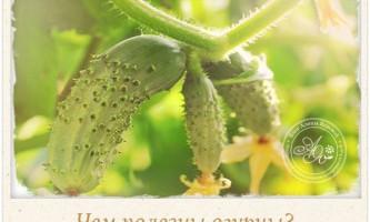 Унікальні корисні властивості огірків, про які мало хто знає і здогадується