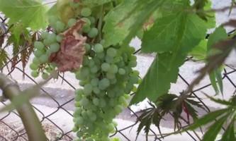 Виноград відмінно підходить для профілактики ожиріння