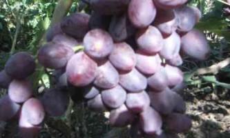 Виноград сорт фавор