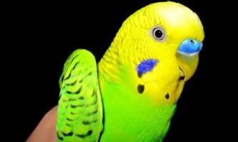 Хвилястий папужка: клітини, аксесуари, іграшки
