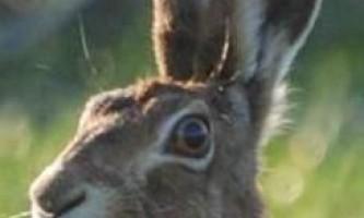 Чи всі знають, для чого тваринам потрібні рухливі вушні раковини?