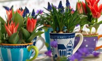 Вирощування тюльпанів в домашніх умовах: посадка