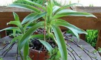 Золотий вус: догляд за рослиною